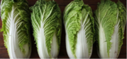 Supplies of Celery Cabbage (Chinese Cabbage) By Wholesale - For Export